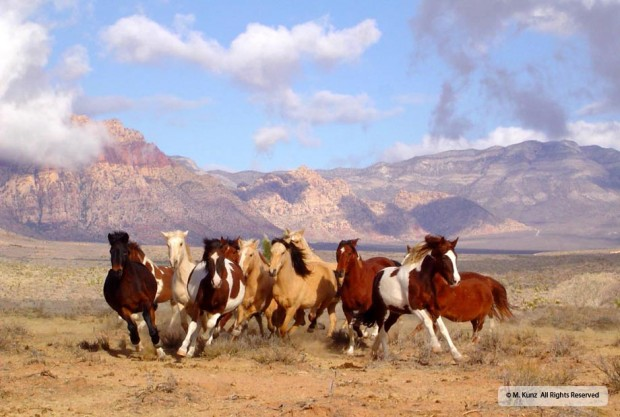 Fancy is the bay mare with the white star, just left of the pinto on the extreme right – taken by Mary Sue during the BLM roundup