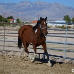 Fancy on the trot in a corral – with her old home in Red Rock in the background – a far cry from her early days in the photo to the right.